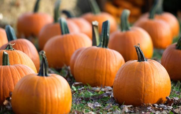Many pumpkins on the ground