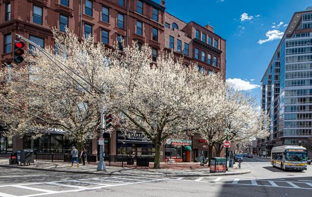 Springtime in Boston: Trees with white flowers, with a Route 43 bus passing by